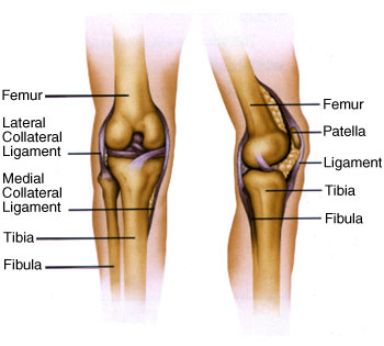 Knee anatomy ccuart Images
